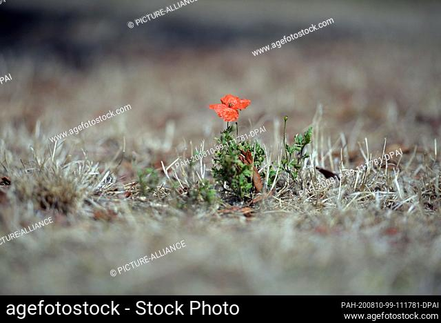 10 August 2020, Saarland, Merzig: Lonely a poppy flower rises from the dry grass. The persistent dryness increases the danger of fire