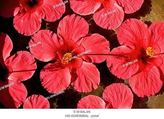 HIBISCUS FLOWERS IN STONE TANK