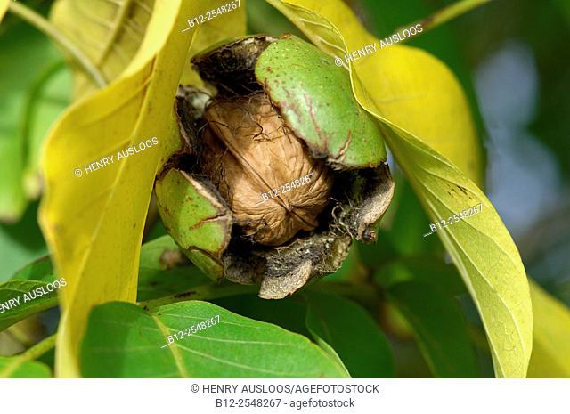 Common Walnut, Fruit (Juglans regia), France