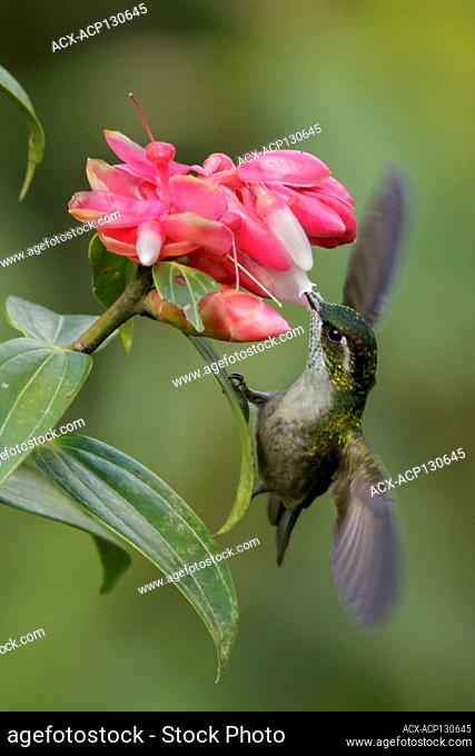 Green-throated Mountain-gem (Lampornis viridipallens) feeding on a flower in Guatemala in Central America