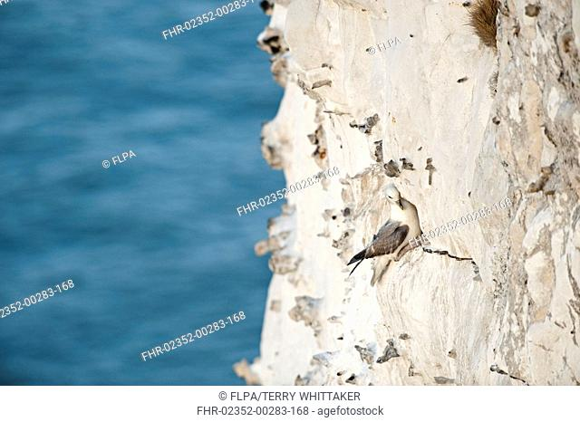 Northern Fulmar Fulmaris glacialis adult, on ledge of chalk cliffs, Dover, Kent, England, may
