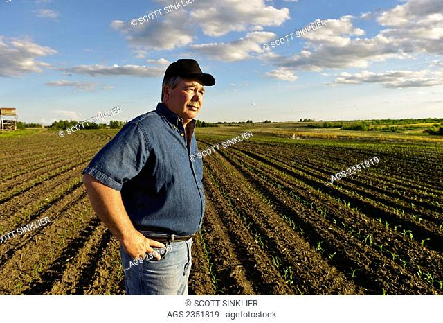 Agriculture - A farmer looks out across his early growth grain corn field several weeks after planting, inspecting the young crop / Central Iowa, USA