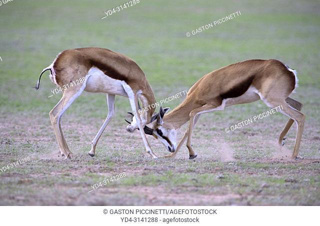 Springbok (Antidorcas marsupialis), fighting. Kgalagadi Transfrontier Park in rainy season, Kalahari Desert, South Africa/Botswana