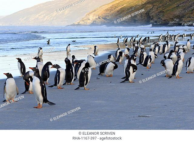 Gentoo penguins (Pygoscelis papua) on beach with rolling waves, evening at the Neck, Saunders Island, Falkland Islands, South America