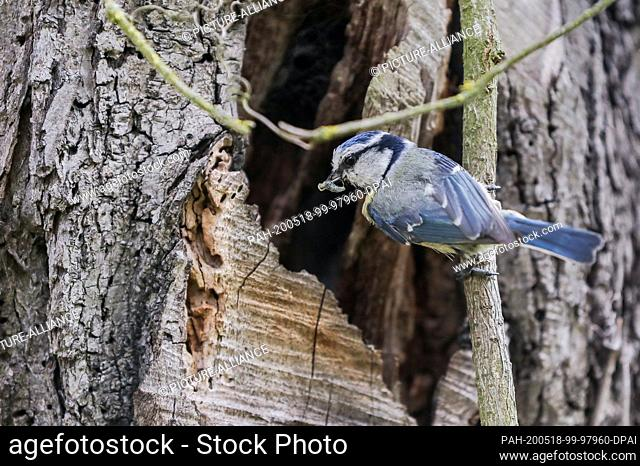 14 May 2020, Saxony, Leipzig: A blue tit sits with food in its beak on a branch not far from its nest. Blue tits like to nest in the hollows of old trees