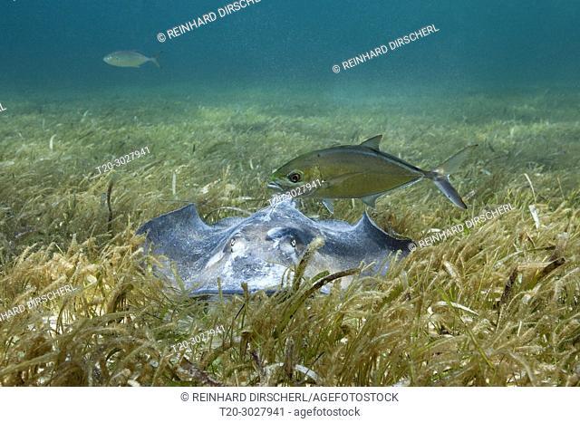 Southern Stingray on Seagrass, Dasyatis americana, Akumal, Tulum, Mexico
