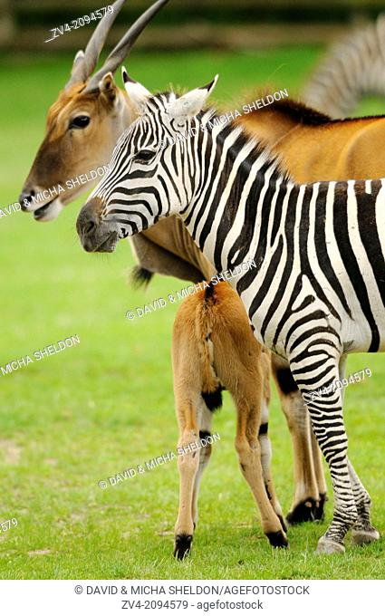 Close-up of a plains zebra (Equus quagga) and a common eland (Taurotragus oryx) in a zoo