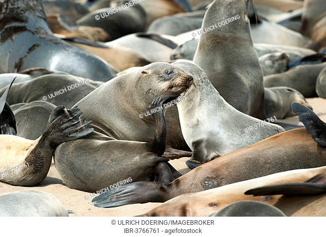 Cape Seal (Arctocephalus pusillus) scratching its chin, Cape Cross, Erongo Region, Namibia