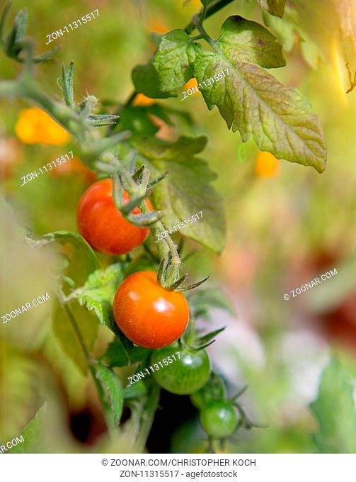Tomaten wachsen am Zweig, 2017