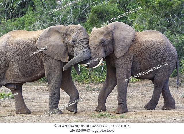 African bush elephants (Loxodonta africana), two adult males playing fight, face to face, Addo Elephant National Park, Eastern Cape, South Africa, Africa