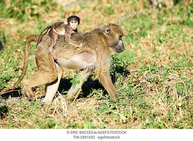 Chacma baboon mother carrying baby on her back (Papio ursinus), Moremi National Park, Okavango Delta, Botswana, Southern Africa