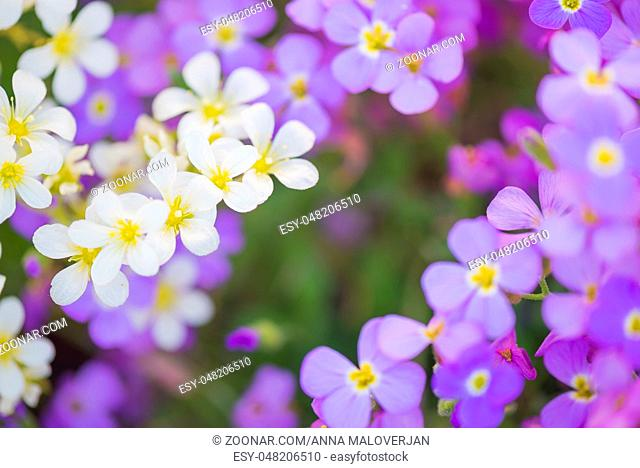 Background from small white and purple flowers. Shallow depth of field