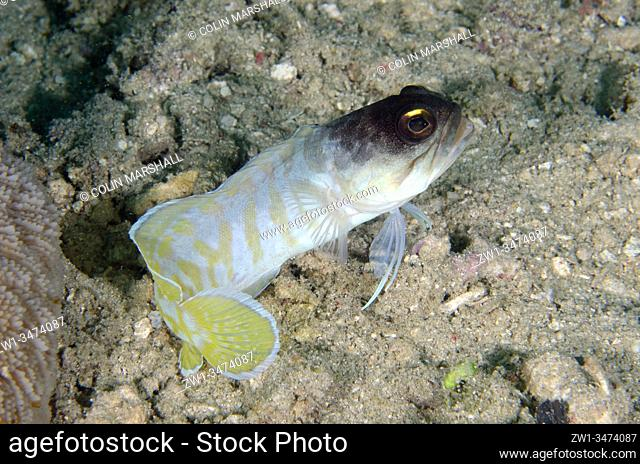 Gold-specs Jawfish (Opistognathus randalli, Opistognathidae Family), Yellow Coco dive site, Bangka Island, north Sulawesi, Indonesia, Pacific Ocean