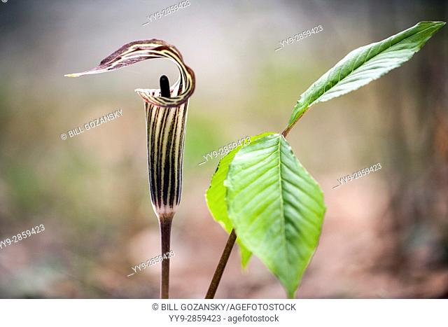 Jack-in-the-Pulpit (Arisaema triphyllum) - Pisgah National Forest, near Brevard, North Carolina, USA