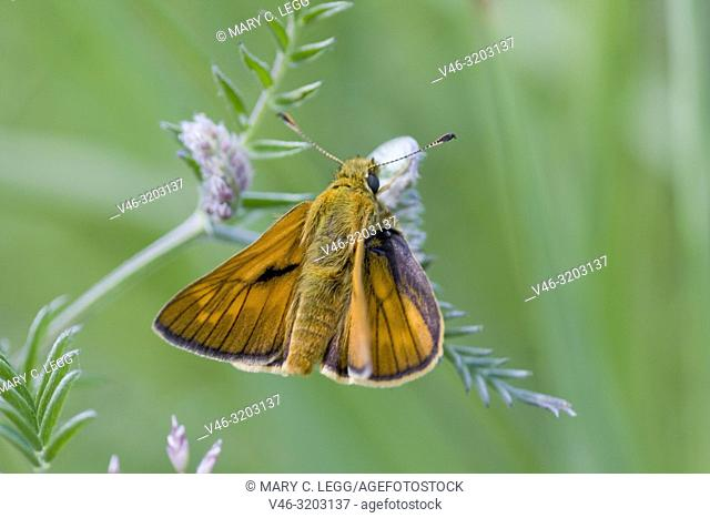 """Small Skipper, Thymelicus sylvestris, an orange butterfly that perches with wings spread. Wingspread: 25â. """"30 mm. Can be confused with Essex Skipper"""