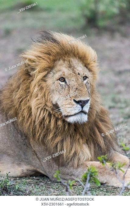Leon macho posing. Panthera leo. Masai Mara NP