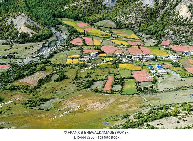 Agricultural landscape with blossoming pink buckwheat fields with Humde village, Upper Marsyangdi Valley, Ngawal, Manang, Nepal