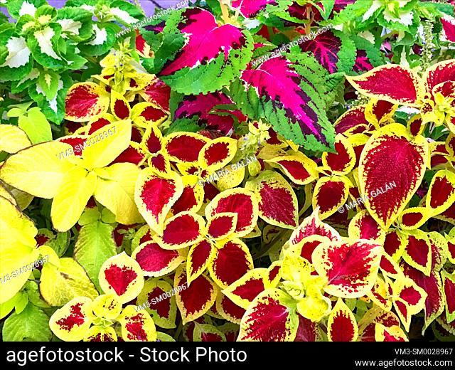 Assorted Coleus plants