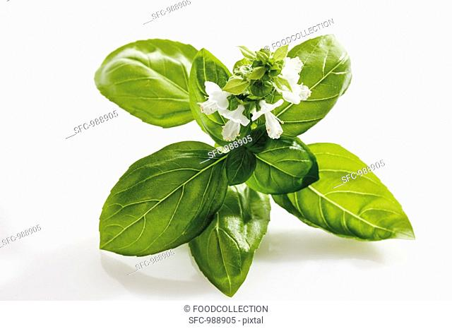 Basil with flowers
