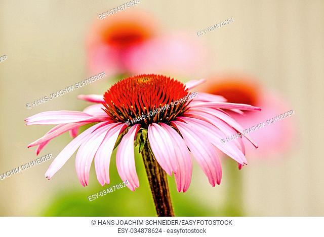 cone flower, Echinacea purpurea, American medicinal plant with flower