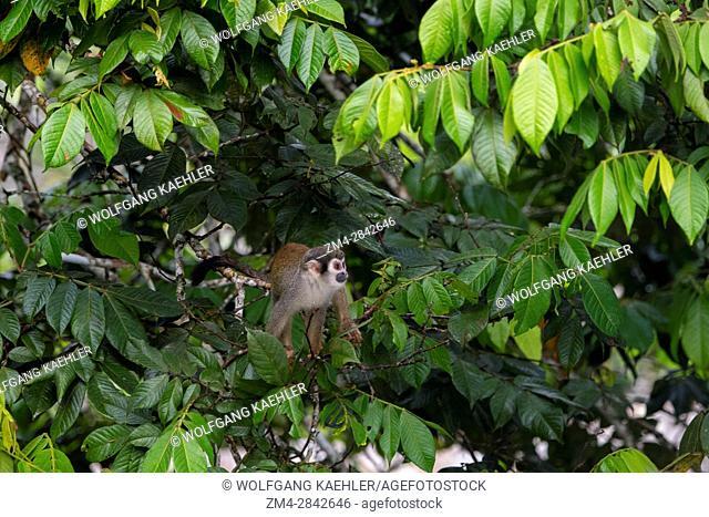 A Squirrel monkey in a tree in the rain forest near La Selva Lodge near Coca, Ecuador