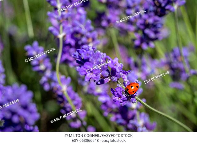 A seven spot ladybird (coccinella septempunctata) on a lavender plant