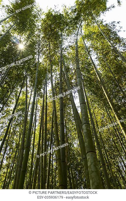 Kyoto, Japan, Tall bamboo forests at Arashiyama Park in Kyoto Japan