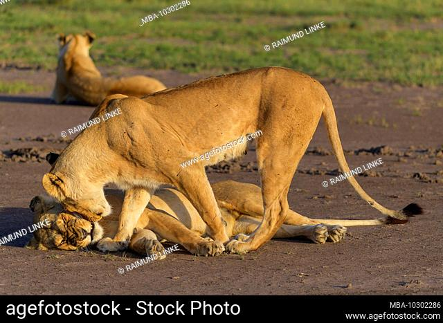 African lion, Panthera Leo, three lioness, Masai Mara National Reserve, Kenya, Africa