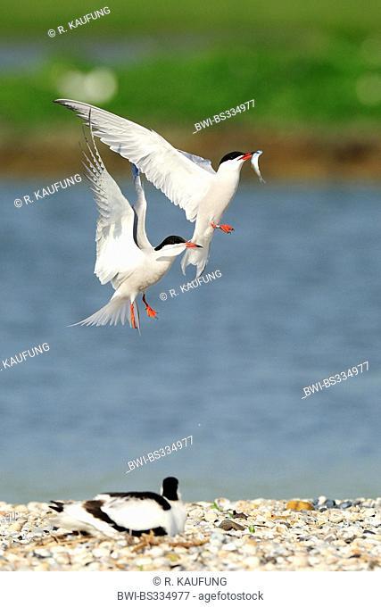 Common tern (Sterna hirundo), fighting for a fish in flight, Netherlands