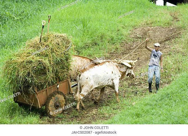 Farmer and his animals carting hay, Puerto Viejo, Costa Rica