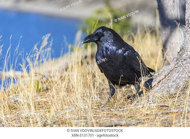 Common raven, Corvus corax, Yellowstone National Park, USA