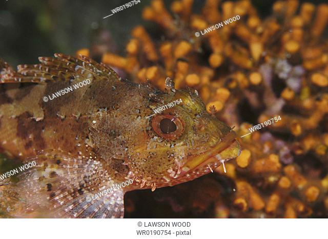Small Rockfish Scorpaena notata, orange & brown against orange coral background, Malta, Maltese Islands, Mediterranean