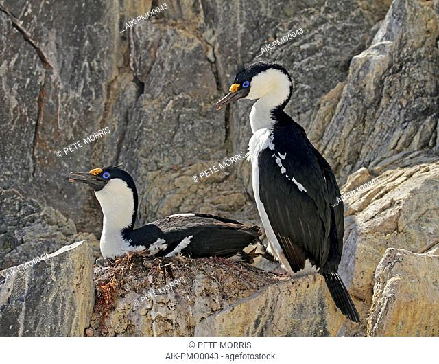 Antarctic shag (Leucocarbo bransfieldensis), a marine cormorant from the southern atlantic oceans