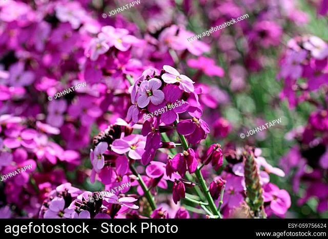 Purple everlasting perennial wallflower, Erysimum bicolor, variety Bowles mauve, flowers with the central spike in focus and the others blurred in the...