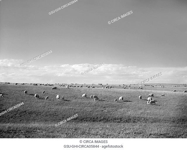 Sheep Grazing, Pennington County, South Dakota, USA, Arthur Rothstein, Farm Security Administration, May 1936