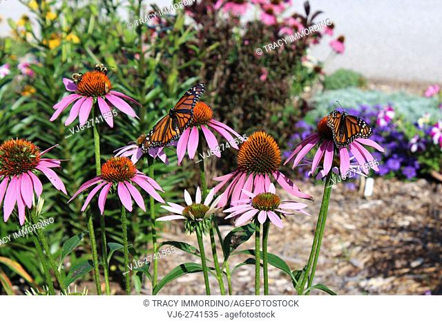 Two female Monarch Butterflies and two bumble bees alighting upon Purple Coneflowers (Echinacea purpurea)