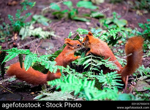 Two Eurasian Red Squirrels (Sciurus vulgaris) Playing