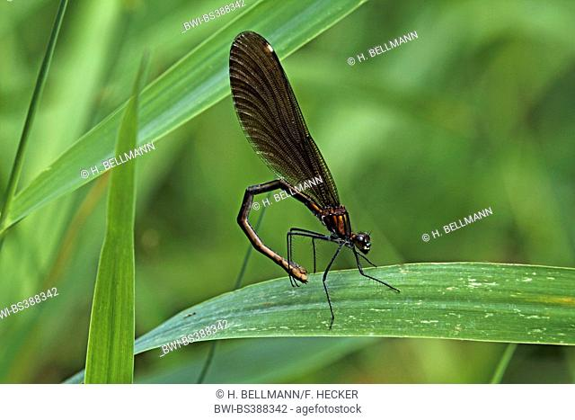 bluewing, demoiselle agrion (Calopteryx virgo), female, Germany