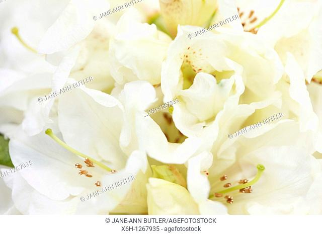 Beautiful Cream, Pale Yellow Rhododendron Cluster