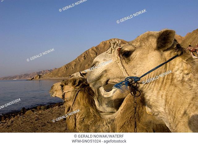 Camels at Beach of Red Sea, Camelus dromedarius, Dahab, Sinai, Red Sea, Egypt