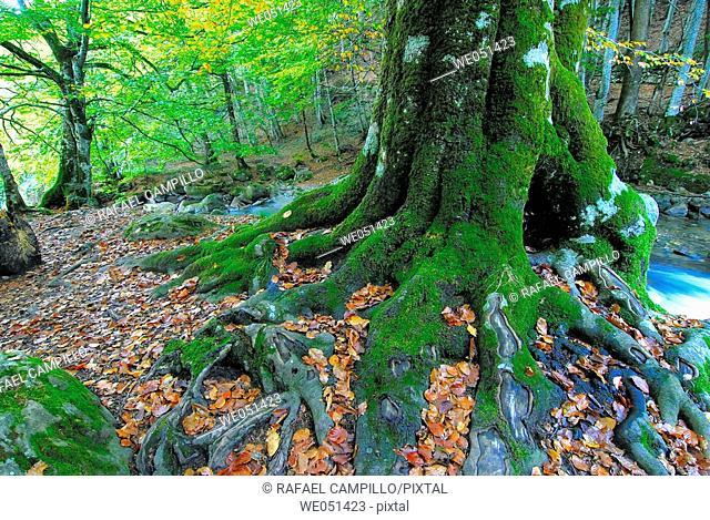 Beechwood. Orlu. Midi-Pyrénées. Ariège. Francia