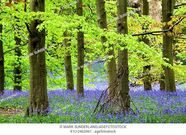 Twigs against a Tree and Bluebells in Middleton Woods in Spring Ilkley West Yorkshire England