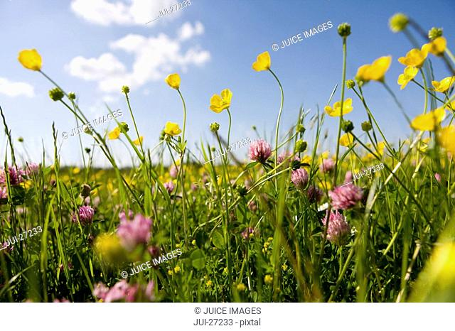 Close up of tranquil field of blooming buttercups