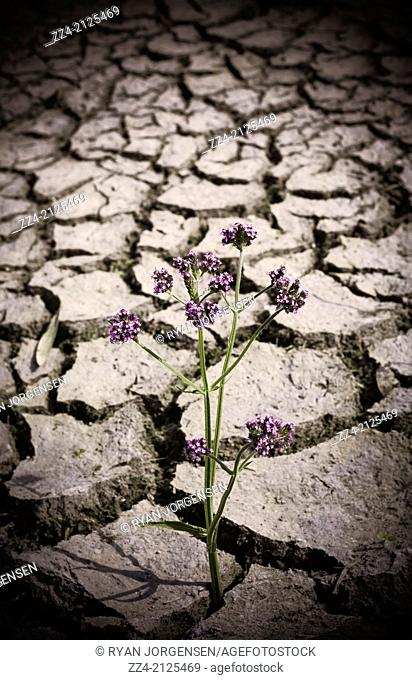 Strength courage and hope concept of a plant growing through a dirt crack during drought