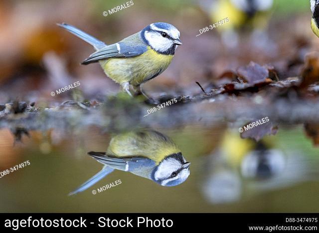 France, Pays de la Loire, Sarthe, Rouesse Vasse, grove, Blue Tit ( Cyanistes caeruleus)