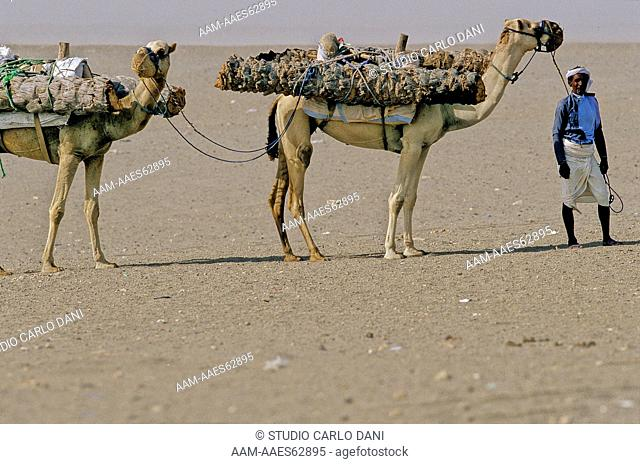 Transporting Palm Trunks On Dromedary Camels For House Building, Tihama, Yemen