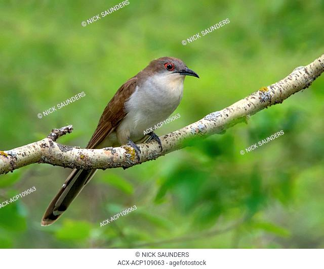 A Black-billed Cuckoo, Coccyzus erythropthalmus , perched in a woodland in Saskatchewan, Canada