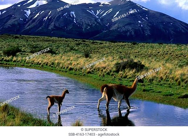 CHILE, TORRES DEL PAINE NAT'L PARK, GUANACOS, MOTHER WITH BABY CHULENGO WALKING THROUGH LAGOON