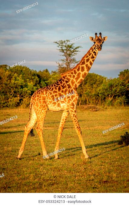 Masai giraffe walks across grass at dawn