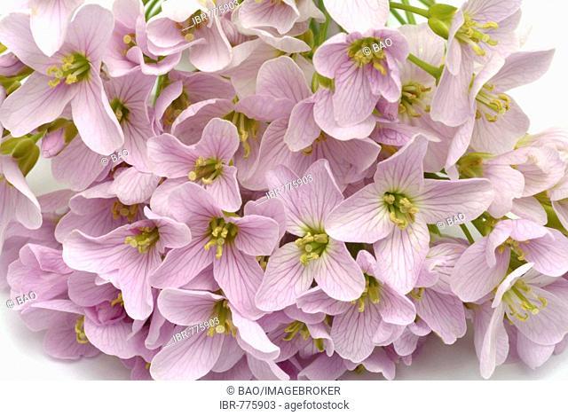Lady's Smock (Cardamine pratense), medicinal plant